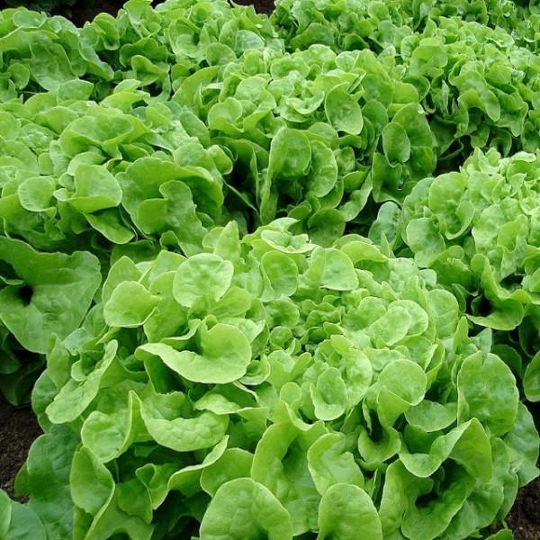 BIO - Grüner Eichblattsalat